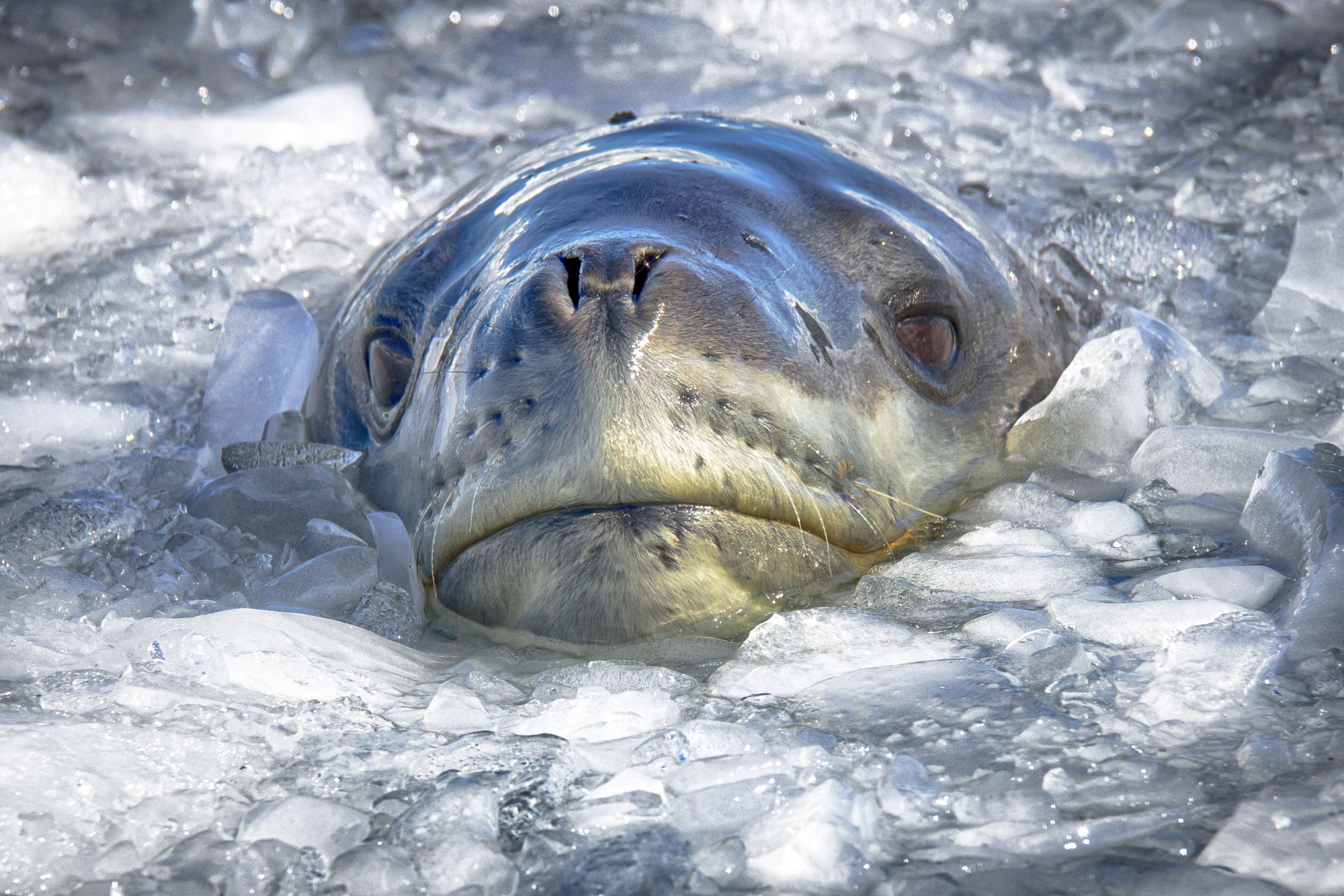 Leopard seal checking us out